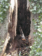 Trunk of tree hollowed by decay